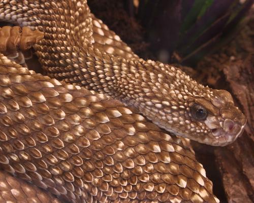 Գյուրզա (Macrovipera lebetina, Гюрза)